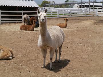 Alpaca07w
