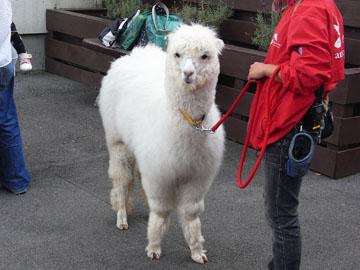 Alpaca01