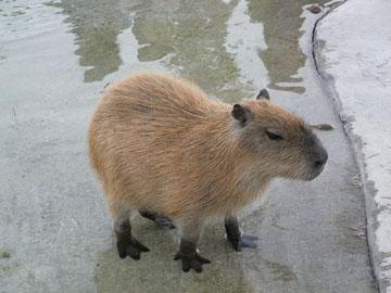 Capybara02