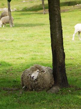 Sheep02