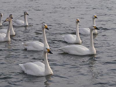 Swan03